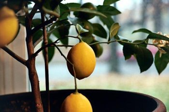 Lemon Trees Need More Than Likes 1
